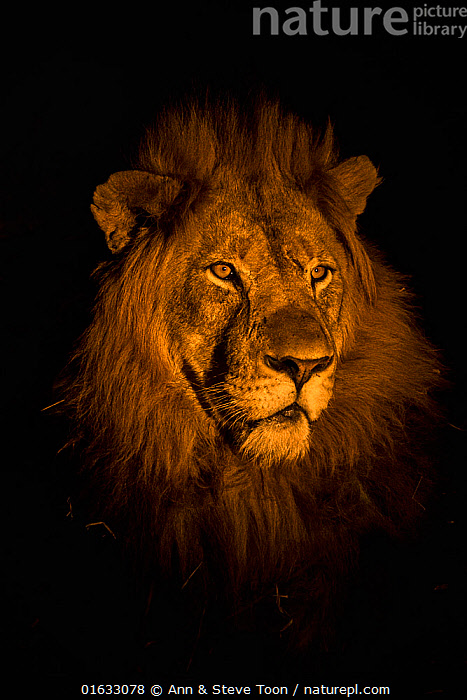 RF - Lion (Panthera leo) head portrait at night, Zimanga private game reserve, KwaZulu-Natal, South Africa. (This image may be licensed either as rights managed or royalty free.)  ,  Animal,Wildlife,Vertebrate,Mammal,Carnivore,Cat,Big cat,Lion,Animalia,Animal,Wildlife,Vertebrate,Mammalia,Mammal,Carnivora,Carnivore,Felidae,Cat,Panthera,Big cat,Panthera leo,Africa,Southern Africa,South Africa,Copy Space,Portrait,Night,Reserve,Lion,Protected area,Negative space,South African,KwaZulu-Natal Province,RF,Royalty free,RF5,  ,  Ann  & Steve Toon