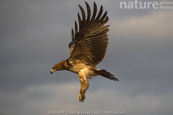 Tawny eagle (Aquila rapax) in flight, Zimanga private game reserve, KwaZulu-Natal, South Africa.  ,  Animal,Wildlife,Vertebrate,Bird,Birds,True eagle,Tawny eagle,Animalia,Animal,Wildlife,Vertebrate,Aves,Bird,Birds,Accipitriformes,Accipitridae,Aquila,True eagle,True eagles,Eagle,Bird of prey,Raptor,Aquila rapax,Tawny eagle,Flying,Africa,Southern Africa,South Africa,Reserve,Protected area,South African,KwaZulu-Natal Province,Birds of Prey,  ,  Ann  & Steve Toon