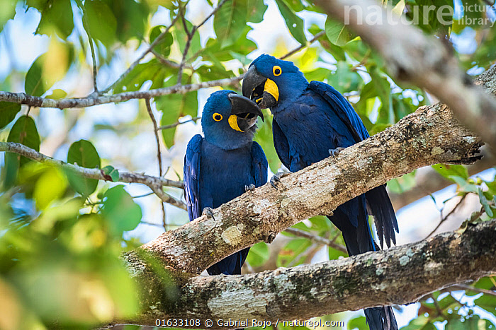 Hyacinth macaw (Anodorhynchus hyacinthinus) pair in courtship, perched in tree. Mato Grosso forest, Pantanal, Mato Grosso, Brazil.  ,  Animal,Wildlife,Vertebrate,Bird,Birds,Parrot,True parrot,Macaw,Hyacinth macaw,Pantanal wetlands,Animalia,Animal,Wildlife,Vertebrate,Aves,Bird,Birds,Psittaciformes,Parrot,Psittacines,Psittacidae,True parrot,Psittacoidea,Anodorhynchus,Macaw,Neotropical parrots,Arini,Arinae,Anodorhynchus hyacinthinus,Hyacinth macaw,Courting,Two,Latin America,South America,Brazil,Animal Behaviour,Reproduction,Mating Behaviour,Courtship,Reserve,Male female pair,Behaviour,Protected area,Pantanal,Pantanal wetlands,Mato Grosso State,UNESCO Biosphere Reserve,Behavioural,Endangered species,threatened,Endangered  ,  Gabriel Rojo