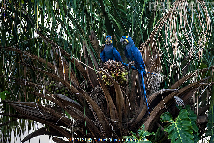 Hyacinth macaw (Anodorhynchus hyacinthinus) two perched in palm tree. Pantanal, Mato Grosso, Brazil.  ,  Animal,Wildlife,Vertebrate,Bird,Birds,Parrot,True parrot,Macaw,Hyacinth macaw,Pantanal wetlands,Animalia,Animal,Wildlife,Vertebrate,Aves,Bird,Birds,Psittaciformes,Parrot,Psittacines,Psittacidae,True parrot,Psittacoidea,Anodorhynchus,Macaw,Neotropical parrots,Arini,Arinae,Anodorhynchus hyacinthinus,Hyacinth macaw,Two,Latin America,South America,Brazil,Reserve,Protected area,Two animals,Pantanal,Pantanal wetlands,Mato Grosso State,UNESCO Biosphere Reserve,Endangered species,threatened,Endangered  ,  Gabriel Rojo