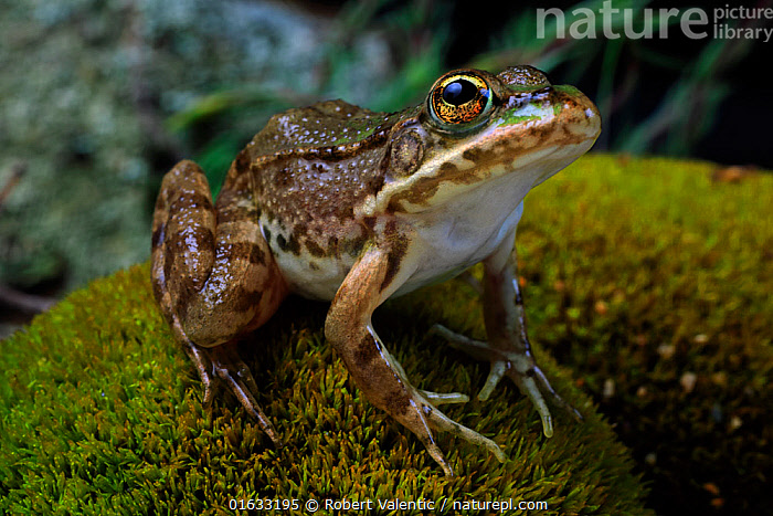 European marsh frog (Pelophylax ridibundus) sub-adult from a small brook, Dadia Forest, NE Greece, July. Controlled conditions.  ,  Animal,Wildlife,Vertebrate,Frog,Green frog,Eurasian Marsh Frog,Animalia,Animal,Wildlife,Vertebrate,Amphibia,Anura,Frog,Ranidae,Pelophylax,Green frog,Water frog,Pelophylax ridibundus,Eurasian Marsh Frog,Marsh frog,Rana ridibunda,Pelophylax ridibunda,Europe,Southern Europe,Greece,Portrait,Amphibian,East Macedonia and Thrace,Eastern Macedonia and Thrace,Evros,Dadia Forest,  ,  Robert Valentic