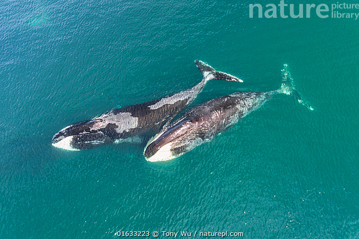 Bowhead whale (Balaena mysticetus) aerial view, Sea of Okhotsk, Russia.  ,  Aerial View,Animal,Animalia,Balaena,Balaena mysticetus,Balaenidae,Baleen whale,Bowhead,Bowhead Whale,Cetacea,cetacean,Cold Water,Coldwater,Drone,Drone shot,Elevated view,High Angle View,Mammal,Mammalia,Marine,Mysteceti,Ocean,Pacific Ocean,Russia,Saltwater,Sea,Sea Of Okhotsk,Surface,Two,Vertebrate,Water,Wildlife  ,  Tony Wu