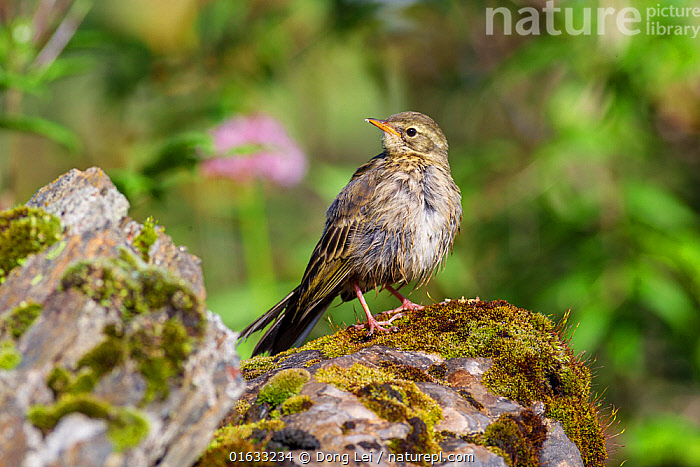 Rosy pipit (Anthus roseatus) standing on rock. Jiudingshan Nature Reserve, Mao Country, Sichuan Province, China. July.  ,  Animal,Wildlife,Vertebrate,Bird,Birds,Songbird,Pipit,Rosy pipit,Animalia,Animal,Wildlife,Vertebrate,Aves,Bird,Birds,Passeriformes,Songbird,Passerine,Motacillidae,Anthus,Pipit,Anthus roseatus,Rosy pipit,Roseate pipit,Rose breasted pipit,Vinaceous breasted pipit,Asia,East Asia,China,Nature,Nature Reserve,Sichuan Province,Jiudingshan Nature Reserve,  ,  Dong Lei
