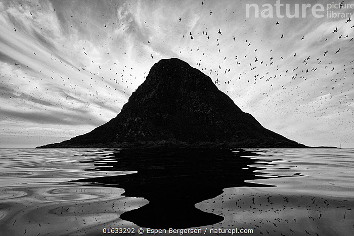 Silhouette of birds flying around Birskoy Bird cliff, Andoya, Norway. August. Second place in the Bird Category of the GDT European Wildlife Photographer of the Year Awards competition 2019, Flying,Group Of Animals,Animal Colony,Flock,Group,Ripple,Rippled,Europe,Northern Europe,North Europe,Nordic Countries,Scandinavia,Norway,B/W,Monochromatic,Back Lit,Reflection,Silhouette,Lofoten,Nordland,Andoya,,,Competition Winners 2019,Competition winner,Award,Awards,Winners,,,competition winners 2019,, Espen Bergersen