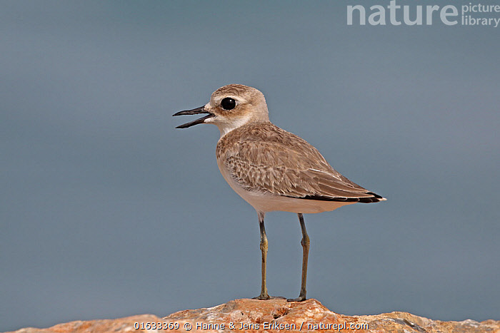 Greater sand plover (Charadrius leschenaultii) with open beak, standing on rock. Oman, July.  ,  Animal,Wildlife,Vertebrate,Bird,Birds,Wader,Ringed plover,Great sand plover,Animalia,Animal,Wildlife,Vertebrate,Aves,Bird,Birds,Charadriiformes,Charadriidae,Wader,Shorebird,Charadrius,Ringed plover,Plover,True plover,Charadriinae,Charadrius leschenaultii,Great sand plover,Geoffrey&#39,s dotterel,Geoffrey&#39,s plover,Geoffrey&#39,s Sand Dotterel,Geoffrey&#39,s Sand plover,Geoffroy&#39,s Plover,Great Dotterel,Great Sand dotterel,Greater sand plover,Greater sand dotterel,Greater sandplover,Large Dotterel,Large Sand Dotterel,Large Sand Plover,Standing,Asia,Middle East,Oman,Sultanate of Oman,Copy Space,Cutout,Side View,Animal Legs,Legs,Leg,Mouth,Beak,Arabia,Negative space,Open Mouth,  ,  Hanne & Jens Eriksen