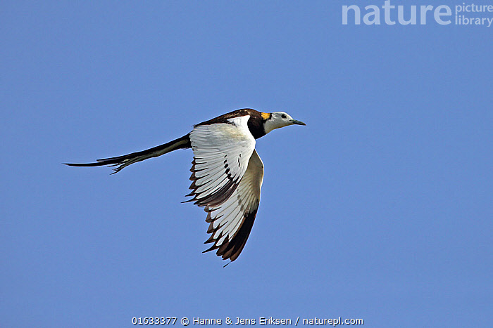 Pheasant-tailed jacana (Hydrophasianus chirurgus) male in breeding plumage, in flight. Oman, July.  ,  Animal,Wildlife,Vertebrate,Bird,Birds,Jacana,Pheasant tailed jacana,Animalia,Animal,Wildlife,Vertebrate,Aves,Bird,Birds,Charadriiformes,Jacanidae,Jacana,Lily trotter,Jesus bird,Wader,Shorebird,Hydrophasianus,Hydrophasianus chirurgus,Pheasant tailed jacana,Chinese water pheasant,Water pheasant,Flying,Asia,Middle East,Oman,Sultanate of Oman,Coloured Background,Blue Background,Copy Space,Cutout,Profile,Side View,Male Animal,Feather,Sky,Colour-phases,Breeding plumage,Arabia,Tail Feather,Negative space,Blue sky,  ,  Hanne & Jens Eriksen