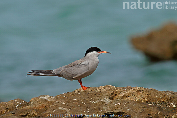 White-cheeked tern (Sterna repressa) standing on rock. Oman, June.  ,  Animal,Wildlife,Vertebrate,Bird,Birds,Tern,White cheeked tern,Animalia,Animal,Wildlife,Vertebrate,Aves,Bird,Birds,Charadriiformes,Sternidae,Tern,Gull,Seabird,Sterninae,Sterna,Sterna repressa,White cheeked tern,Standing,Asia,Middle East,Oman,Sultanate of Oman,Profile,Side View,Arabia,  ,  Hanne & Jens Eriksen