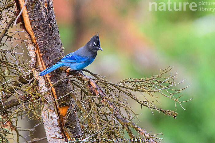 Steller's jay (Cyanocitta stelleri) perched on branch. Grand Teton National Park, Wyoming, USA. September.  ,  Animal,Wildlife,Vertebrate,Bird,Birds,Songbird,Steller&#39,s jay,American,Animalia,Animal,Wildlife,Vertebrate,Aves,Bird,Birds,Passeriformes,Songbird,Passerine,Corvidae,Corvid,Cyanocitta,Cyanocitta stelleri,Steller&#39,s jay,Long crested jay,Mountain jay,Pine jay,Corvus stelleri,North America,USA,Western USA,Wyoming,Reserve,Protected area,National Park,Grand Teton National Park,American,United States of America,  ,  Oscar Dewhurst