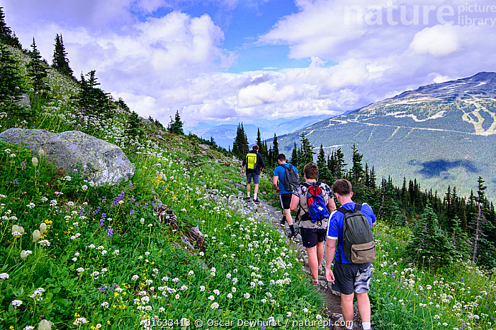 Hikers walking along trail through wildflowers in alpine landscape. Whistler, British Columbia, Canada. August  ,  Walking,Leisure,People,North America,Canada,British Columbia,Plant,Flower,Path,Mountain,Alpine,Landscape,Outdoors,Hiking,Hikers,Grassland,Meadow,Moving,Movement,Whistler,  ,  Oscar Dewhurst
