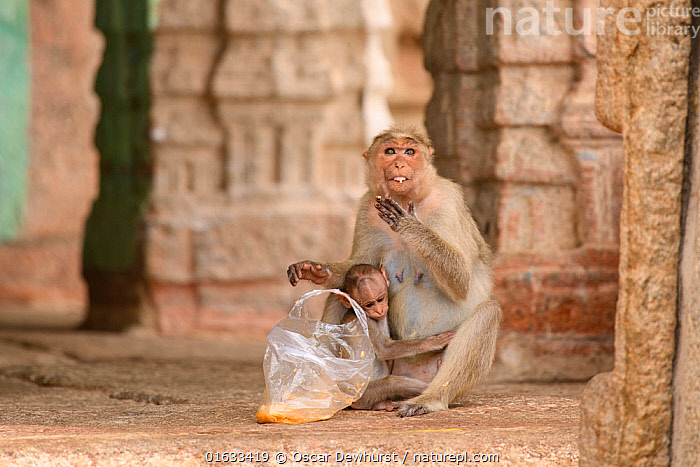 Bonnet macaque (Macaca radiata) female and baby at temple with bag of food taken from humans. Hampi, Karnataka, India. 2019.  ,  Animal,Wildlife,Vertebrate,Mammal,Monkey,Macaque,Bonnet macaque,Animalia,Animal,Wildlife,Vertebrate,Mammalia,Mammal,Primate,Primates,Cercopithecidae,Monkey,Old World Monkeys,Macaca,Macaque,Papionini,Macaca radiata,Bonnet macaque,Macaca diluta,Asia,Indian Subcontinent,India,Bag,Plastic Bag,Plastic Bags,Feeding,Scavenging,Family,Mother baby,Mother,Karnataka,Parent baby,Hampi,  ,  Oscar Dewhurst