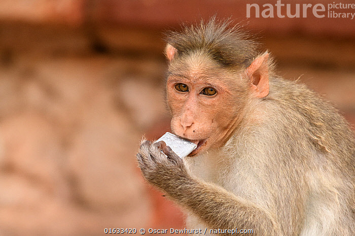 Bonnet macaque (Macaca radiata) chewing on mobile phone battery. Hampi, Karnataka, India. 2019.  ,  Animal,Wildlife,Vertebrate,Mammal,Monkey,Macaque,Bonnet macaque,Animalia,Animal,Wildlife,Vertebrate,Mammalia,Mammal,Primate,Primates,Cercopithecidae,Monkey,Old World Monkeys,Macaca,Macaque,Papionini,Macaca radiata,Bonnet macaque,Macaca diluta,Asia,Indian Subcontinent,India,Feeding,Conservation issues,Karnataka,Hampi,  ,  Oscar Dewhurst