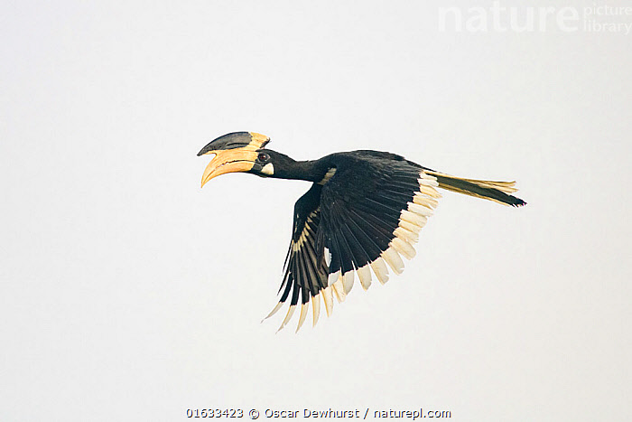 Malabar pied hornbill (Anthracoceros coronatus) male in flight. Goa, India. September.  ,  Animal,Wildlife,Vertebrate,Bird,Birds,Hornbill,Malabar pied hornbill,Animalia,Animal,Wildlife,Vertebrate,Aves,Bird,Birds,Bucerotiformes,Bucerotidae,Hornbill,Anthracoceros,Anthracoceros coronatus,Malabar pied hornbill,Indian pied hornbill,Crowned hornbill,Oriental pied hornbill,Anthracoceros malabaricus,Buceros coronatus,Flying,Asia,Indian Subcontinent,India,Copy Space,Cutout,Profile,Side View,Beak,Feather,Flight feathers,Goa,Negative space,Wing feathers,  ,  Oscar Dewhurst