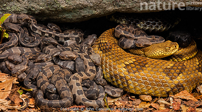 Timber rattlesnake (Crotalus horridus) females and newborn young at maternity site. Pennsylvania, USA. August., Animal,Wildlife,Vertebrate,Reptile,Squamate,Viper,Rattlesnake,Timber rattlesnake,American,Animalia,Animal,Wildlife,Vertebrate,Reptilia,Reptile,Squamata,Squamate,Viperidae,Viper,Viperid snakes,Snake,Crotalus,Rattlesnake,Rattler,Pitviper,Pit viper,Crotalus horridus,Timber rattlesnake,Crotalus atricaudatus,Crotalus horridus horridus,North America,USA,Eastern USA,Mid-Atlantic US,Pennsylvania,Female animal,Animal Behaviour,Parental behaviour,Family,Mother baby,Behaviour,Mother,Parental,Parent baby,Maternal Behaviour,Female and offspring,American,United States of America,Behavioural,Venomous, John Cancalosi