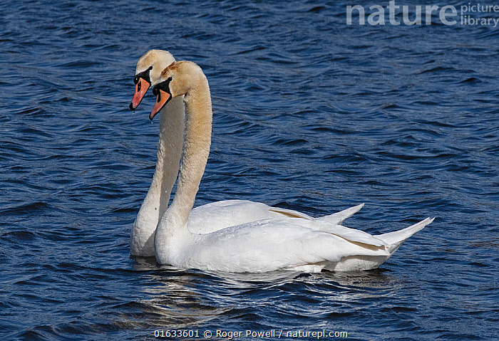 Mute swan pair (Cygnus olor) engaged in courtship. Potterick Carr, Doncaster, Yorkshire, UK, March.  ,  Animal,Wildlife,Vertebrate,Bird,Birds,Water fowl,Waterfowl,True swan,Mute swan,Animalia,Animal,Wildlife,Vertebrate,Aves,Bird,Birds,Anseriformes,Water fowl,Galloanserans,Waterfowl,Anatidae,Cygnus,True swan,Swan,Cygninae,Anserinae,Cygnus olor,Mute swan,Courting,Two,Europe,Western Europe,UK,Great Britain,England,Freshwater,Water,Animal Behaviour,Reproduction,Mating Behaviour,Courtship,Male female pair,Behaviour,Yorkshire,Behavioural,Wildfowl  ,  Roger Powell