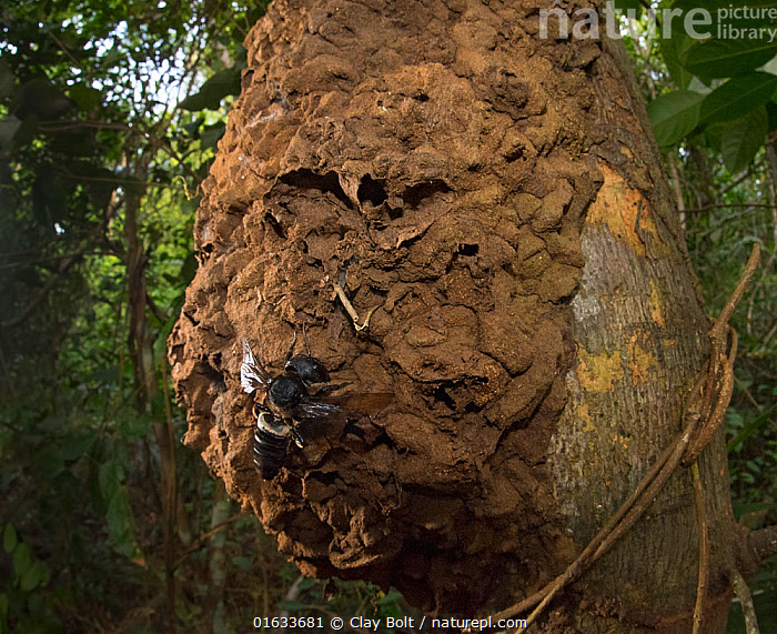 Wallace's giant bee (Megachile pluto) and nest on tree trunk. North Moluccas, Indonesia.T his is the only photo that is known to exist of this species (the world's largest bee) in the wild, in situ, and with nest., Animal,Wildlife,Arthropod,Insect,Leaf cutting bee,Leafcutter bee,Solitary bee,Wallace&#39,s giant bee,Animalia,Animal,Wildlife,Hexapoda,Arthropod,Invertebrate,Hexapod,Arthropoda,Insecta,Insect,Hymenoptera,Megachilidae,Leaf cutting bee,Bee,Apocrita,Megachile,Leafcutter bee,Leaf cutter bee,Asia,South East Asia,Indonesia,Animal Home,Nest,Biodiversity hotspot,Solitary bee,Moluccas,Megachile pluto,Wallace&#39,s giant bee,Vulnerable,Endangered species,Endangered, Clay Bolt