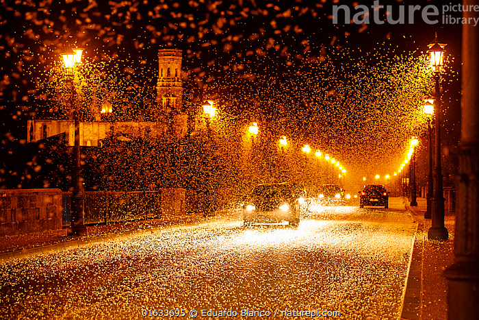 Pale burrower mayfly (Ephoron virgo), swarming in the millions on street at night, appearing like snow. Mayflies recently hatched. Tudela, La Ribera de Navarra, Navarre, Spain. August 2019. Finalist in the Nature Stories Section of the Cadiz Photo Nature Competition 2019., Animal,Wildlife,Arthropod,Insect,Mayfly,Animalia,Animal,Wildlife,Hexapoda,Arthropod,Invertebrate,Hexapod,Arthropoda,Insecta,Insect,Ephemeroptera,Mayfly,Shadfly,Upwing fly,Palaeoptera,Pterygota,Swarm,Swarms,Group,Large Group,Dark,Europe,Southern Europe,Spain,Navarre,Artifical light,Electric Light,Street Light,Lamppost,Lampposts,Road,Urban Road,Street,Building,Church,Churches,Land Vehicle,Motor Vehicle,Night,Multitude,Car,Automobile,Navarra,Polymitarcyidae,Pale burrower mayfly,Ephoron,White fly,Ephoron virgo,Competition winners 2019,, Eduardo Blanco