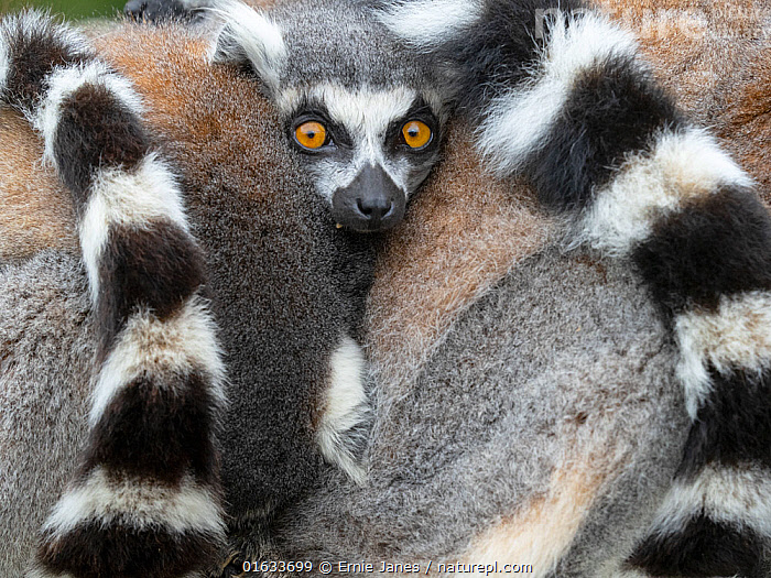 Ring-tailed lemur (Lemur catta) two huddled together for warmth. Captive.  ,  Animal,Wildlife,Vertebrate,Mammal,Lemur,Ring-tailed lemur,Animalia,Animal,Wildlife,Vertebrate,Mammalia,Mammal,Primate,Primates,Lemuridae,Lemur,Prosimians,Lemur catta,Ring-tailed lemur,Maki mococo,Huddling,Huddle,Huddled,Huddles,Colour,Two,Group,Pattern,Stripes,Africa,Madagascar,Malagasy Republic,Republic of Madagascar,Tail,Biodiversity hotspots,Biodiversity hotspot,Two animals,Direct Gaze,Black and white,  ,  Ernie Janes