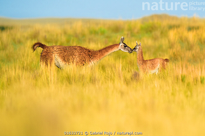 Guanaco (Lama guanicoe) female and newborn baby, nose to nose in grassland. La Pampa Province, Argentina.  ,  Animal,Wildlife,Vertebrate,Mammal,Camelid,Llama,Guanaco,Animalia,Animal,Wildlife,Vertebrate,Mammalia,Mammal,Artiodactyla,Even-toed ungulates,Camelidae,Camelid,Tylopoda,Lama,Llama,Lama guanicoe,Guanaco,glama guanicoe,Lama fera,Lama guanaco,Lama huanaca,Newborn,Newborns,Cute,Adorable,Tenderness,Tender,Face To Face,Latin America,South America,Argentina,Young Animal,Baby,Grassland,Pampas,Family,Mother baby,Mother,Parent baby,Nose to nose,La Pampa,  ,  Gabriel Rojo