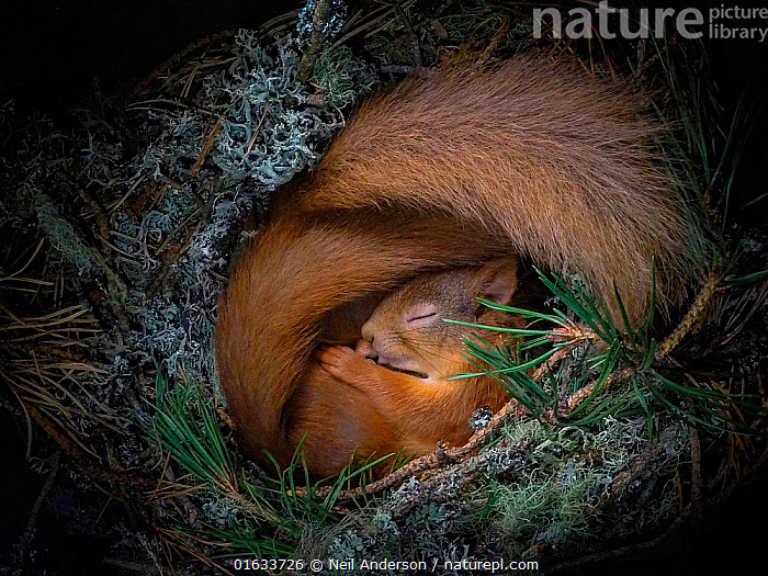 Red squirrel (Sciurus vulgaris), two curled up asleep in drey inside nest box. Nest of lichen and Pine needles. Highlands, Scotland, UK.  ,  Resting,Rest,Sleeping,Cute,Adorable,Satisfaction,Europe,Western Europe,UK,Great Britain,Scotland,Highland,High Angle View,Animal,Tail,Animal Home,Nest,Highlands of Scotland,Elevated view,Curled up,Comfortable,Cosy,  ,  Neil Anderson