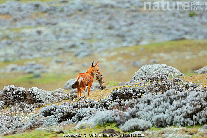 Ethiopian Wolf (Canis simensis) catching a big-headed African mole-rat (Tachyoryctes macrocephalus) in the Sanetti Plateau, Bale Mountains National Park, Oromia, Ethiopia.  ,  Animal,Wildlife,Vertebrate,Mammal,Carnivore,Canid,Ethiopian Wolf,Rodent,Mole rat,Mole rats,Giant mole rat,Animalia,Animal,Wildlife,Vertebrate,Mammalia,Mammal,Carnivora,Carnivore,Canidae,Canid,Canis,Canis simensis,Ethiopian Wolf,Simien Fox,Simien Jackal,Rodentia,Rodent,Spalacidae,Mole rat,Tachyorctes,Mole rats,Tachyoryctes macrocephalus,Giant mole rat,Big headed mole rat,Animal Behaviour,Feeding,Predation,Reserve,Behaviour,Endemic,Protected area,National Park,Behavioural,Endangered species,threatened,Endangered,,catalogue14  ,  Oriol  Alamany
