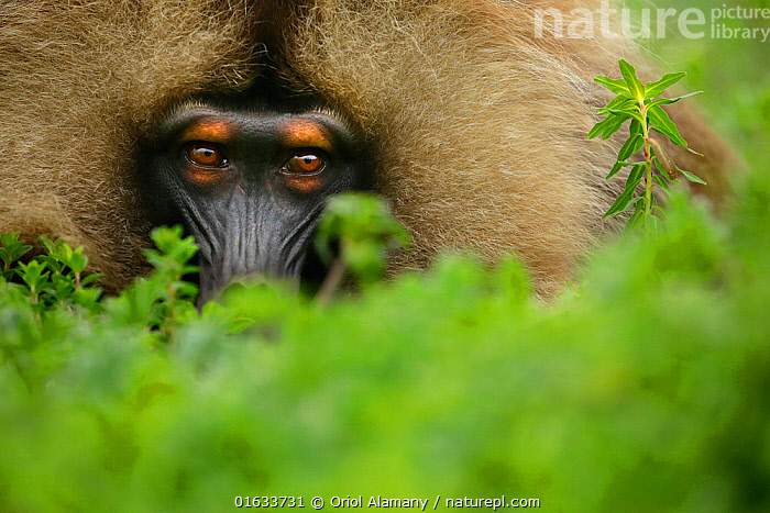 Gelada Baboon (Theropithecus gelada) male lying in a forest glade at around 3,000 metres of altitude, Simien Mountains National Park, Amhara, Ethiopia.  ,  Animal,Wildlife,Vertebrate,Mammal,Monkey,Gelada,Animalia,Animal,Wildlife,Vertebrate,Mammalia,Mammal,Primate,Primates,Cercopithecidae,Monkey,Old World Monkeys,Theropithecus,Gelada,Baboon,Papionini,Cercopithecinae,Theropithecus gelada,Gelada Baboon,Africa,East Africa,Ethiopia,Portrait,Reserve,Protected area,National Park,Bleeding heart monkey,  ,  Oriol  Alamany
