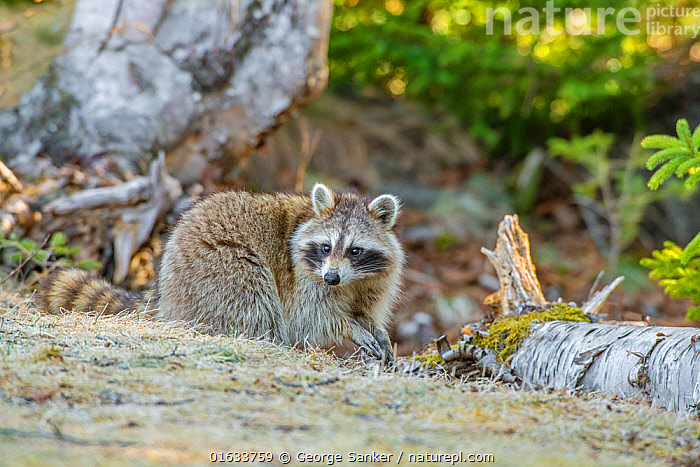 Raccoon (Procyon lotor) foraging in woodland. Acadia National Park, Maine, USA. April., Animal,Wildlife,Vertebrate,Mammal,Carnivore,Racoon,Raccoon,American,Animalia,Animal,Wildlife,Vertebrate,Mammalia,Mammal,Carnivora,Carnivore,Procyonidae,Procyon,Racoon,Procyon lotor,Raccoon,Northern Racoon,Ursus lotor,Foraging,North America,USA,Eastern USA,New England,Maine,Feeding,Reserve,Protected area,National Park,Acadia National Park,American,United States of America,, George  Sanker