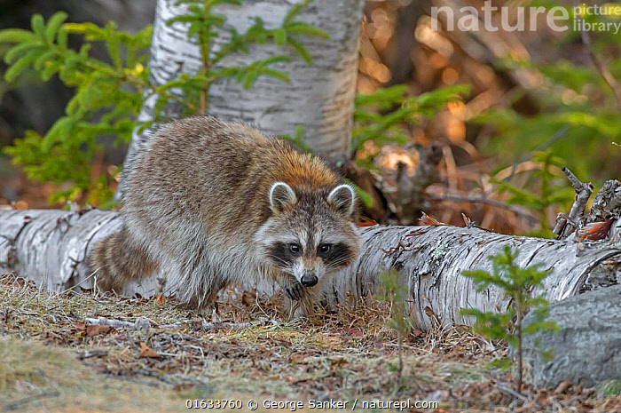 Raccoon (Procyon lotor) foraging in woodland. Acadia National Park, Maine, USA. April., Animal,Wildlife,Vertebrate,Mammal,Carnivore,Racoon,Raccoon,American,Animalia,Animal,Wildlife,Vertebrate,Mammalia,Mammal,Carnivora,Carnivore,Procyonidae,Procyon,Racoon,Procyon lotor,Raccoon,Northern Racoon,Ursus lotor,Foraging,North America,USA,Eastern USA,New England,Maine,Reserve,Protected area,National Park,Acadia National Park,American,United States of America,, George  Sanker