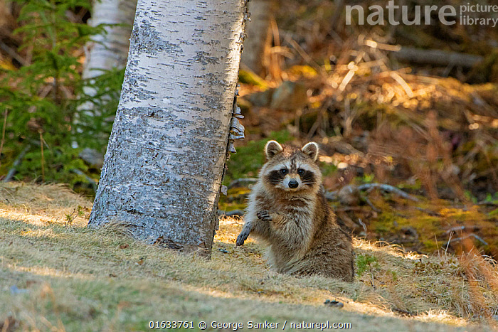 Raccoon (Procyon lotor) sitting in woodland, looking at camera. Acadia National Park, Maine, USA. April., Animal,Wildlife,Vertebrate,Mammal,Carnivore,Racoon,Raccoon,American,Animalia,Animal,Wildlife,Vertebrate,Mammalia,Mammal,Carnivora,Carnivore,Procyonidae,Procyon,Racoon,Procyon lotor,Raccoon,Northern Racoon,Ursus lotor,Sitting,North America,USA,Eastern USA,New England,Maine,Reserve,Protected area,National Park,Direct Gaze,Acadia National Park,American,United States of America,, George  Sanker