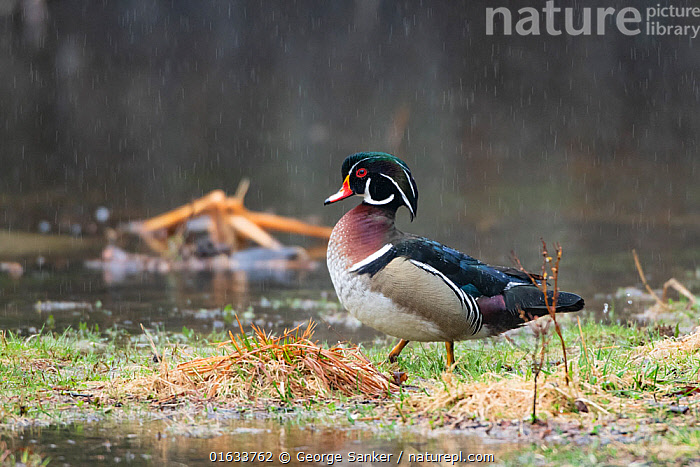 Wood duck (Aix sponsa) male in breeding plumage at water's edge, in rain. Acadia National Park, Maine, USA. April., Animal,Wildlife,Vertebrate,Bird,Birds,Water fowl,Waterfowl,Wood duck,American,Animalia,Animal,Wildlife,Vertebrate,Aves,Bird,Birds,Anseriformes,Water fowl,Galloanserans,Waterfowl,Anatidae,Aix,Aix sponsa,Wood duck,American Wood Duck,Carolina Duck,Carolina wood Duck,North America,USA,Eastern USA,New England,Maine,Profile,Side View,Male Animal,Weather,Raining,Rain,Reserve,Colour-phases,Breeding plumage,Protected area,National Park,Acadia National Park,American,United States of America,Wildfowl, George  Sanker