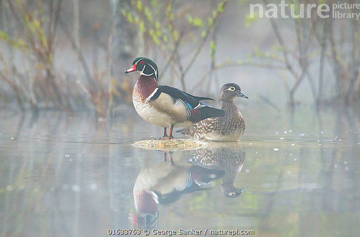 Wood duck (Aix sponsa) pair resting on rocks in pond. Acadia National Park, Maine, USA. May., Animal,Wildlife,Vertebrate,Bird,Birds,Water fowl,Waterfowl,Wood duck,American,Animalia,Animal,Wildlife,Vertebrate,Aves,Bird,Birds,Anseriformes,Water fowl,Galloanserans,Waterfowl,Anatidae,Aix,Aix sponsa,Wood duck,American Wood Duck,Carolina Duck,Carolina wood Duck,Resting,Rest,Two,North America,USA,Eastern USA,New England,Maine,Reflection,Freshwater,Pond,Water,Reserve,Male female pair,Colour-phases,Breeding plumage,Protected area,National Park,Acadia National Park,Surface,American,United States of America,Wildfowl, George  Sanker