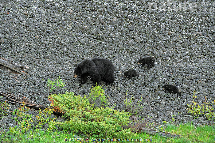 Black bear (Ursus americanus) female and cubs on rocky slope. Yellowstone National Park, Wyoming, USA. May.  ,  Animal,Wildlife,Vertebrate,Mammal,Carnivore,Bear,Black bear,American,Animalia,Animal,Wildlife,Vertebrate,Mammalia,Mammal,Carnivora,Carnivore,Ursidae,Bear,Ursus,Ursus americanus,Black bear,Euarctos americanus,Sibling,Siblings,Triplets,Few,Four,Group,North America,USA,Western USA,Wyoming,Young Animal,Baby,Baby Mammal,Cub,Mountain,Scree,Scree Slope,Scree Slopes,Talus,Rock,Reserve,Family,Mother baby,Mother,Protected area,National Park,Yellowstone National Park,Parent baby,Four animals,Female and offspring,American,United States of America,Endangered species,threatened,Vulnerable  ,  George  Sanker