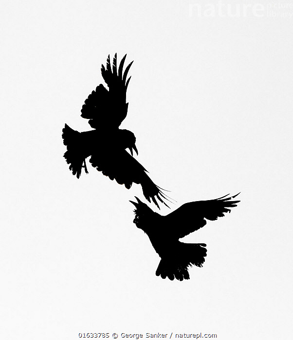 Raven (Corvus corax), two fighting in mid-air. Yellowstone National Park, Wyoming, USA. June.  ,  Animal,Wildlife,Vertebrate,Bird,Birds,Songbird,Crow,Common raven,American,Animalia,Animal,Wildlife,Vertebrate,Aves,Bird,Birds,Passeriformes,Songbird,Passerine,Corvidae,Corvid,Corvus,Crow,Corvus corax,Common raven,Northern raven,Great raven,Flying,Colour,Mid Air,Two,North America,USA,Western USA,Wyoming,Copy Space,Cutout,B/W,Monochromatic,Back Lit,Animal Behaviour,Aggression,Fighting,Reserve,Silhouette,Behaviour,Protected area,National Park,Two animals,Negative space,Yellowstone National Park,American,United States of America,Behavioural,Black and white,  ,  George  Sanker