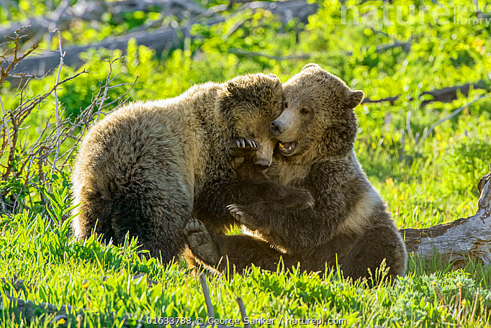 Grizzly bear (Ursus arctos horribilis) female and sub-adult cub play fighting. Yellowstone National Park, Wyoming, USA. June.  ,  Animal,Wildlife,Vertebrate,Mammal,Carnivore,Bear,Brown Bear,Grizzly bear,American,Animalia,Animal,Wildlife,Vertebrate,Mammalia,Mammal,Carnivora,Carnivore,Ursidae,Bear,Ursus,Ursus arctos,Brown Bear,Play Fight,Play Fighting,Play Fights,North America,USA,Western USA,Wyoming,Young Animal,Baby,Baby Mammal,Cub,Animal Behaviour,Playing,Reserve,Family,Mother baby,Behaviour,Mother,Play,Playful,Grizzly bear,Protected area,National Park,Yellowstone National Park,Parent baby,American,United States of America,Behavioural,Sub-Adult,  ,  George  Sanker