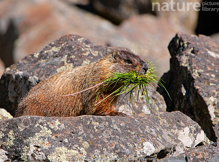 Yellow-bellied carmot (Marmota flaviventris) carrying grass in mouth, amongst rocks. Yellowstone National Park, Wyoming, USA. June.  ,  Animal,Wildlife,Vertebrate,Mammal,Rodent,Marmot,Yellow bellied marmot,American,Animalia,Animal,Wildlife,Vertebrate,Mammalia,Mammal,Rodentia,Rodent,Sciuridae,Marmota,Marmot,Marmota flaviventris,Yellow bellied marmot,North America,USA,Western USA,Wyoming,Feeding,Reserve,Protected area,National Park,Yellowstone National Park,American,United States of America,  ,  George  Sanker