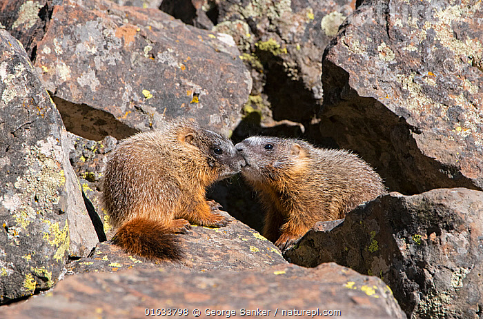 Yellow-bellied marmot (Marmota flaviventris) pups playing amongst rocks. Yellowstone National Park, Wyoming, USA. June.  ,  Animal,Wildlife,Vertebrate,Mammal,Rodent,Marmot,Yellow bellied marmot,American,Animalia,Animal,Wildlife,Vertebrate,Mammalia,Mammal,Rodentia,Rodent,Sciuridae,Marmota,Marmot,Marmota flaviventris,Yellow bellied marmot,Sibling,Siblings,Two,North America,USA,Western USA,Wyoming,Young Animal,Baby,Baby Mammal,Pup,Pups,Rock,Reserve,Family,Protected area,National Park,Two animals,Yellowstone National Park,American,United States of America,  ,  George  Sanker