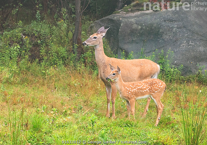 White-tailed deer (Odocoileus virginianus) doe and fawn standing in grassland in light mist. Acadia National Park, Maine, USA. August., Animal,Wildlife,Vertebrate,Mammal,Deer,Key Deer,American,Animalia,Animal,Wildlife,Vertebrate,Mammalia,Mammal,Artiodactyla,Even-toed ungulates,Cervidae,Deer,True deer,ruminantia,Ruminant,Odocoileus,Odocoileus virginianus,Key Deer,White-tailed Deer,Standing,Alertness,North America,USA,Eastern USA,New England,Maine,Profile,Side View,Young Animal,Baby,Baby Mammal,Fawn,Female animal,Doe,Does,Reserve,Family,Mother baby,Mother,Protected area,National Park,Acadia National Park,Parent baby,Hind,Hinds,American,United States of America,, George  Sanker