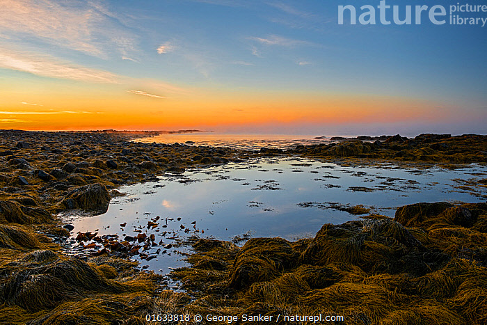 Rockpool and Seaweed covered rocky shore at dawn. Acadia National Park, Maine, USA. October 2013.  ,  American,North America,USA,Eastern USA,New England,Maine,Rock,Ocean,Atlantic Ocean,Sunrise,Landscape,Coast,Marine,Tidepool,Coastal,Water,Reserve,Saltwater,Intertidal,Littoral,Protected area,National Park,Dawn,Acadia National Park,Seaweed,Rocky,American,United States of America,  ,  George  Sanker
