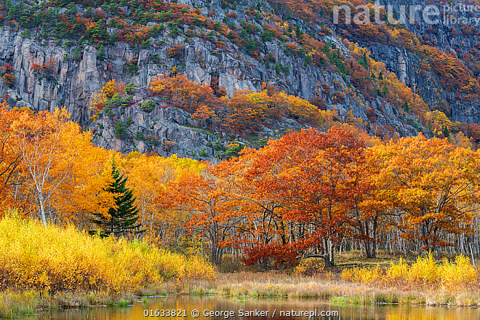 Lakeside trees in autumn, cliffs of Champlain Mountain in background. Acadia National Park, Maine, USA. October 2018.  ,  American,Colour,Orange,North America,USA,Eastern USA,New England,Maine,Plant,Tree,Cliff,Landscape,Autumn,Freshwater,Lake,Water,Reserve,Protected area,National Park,Acadia National Park,American,Rockface,United States of America,  ,  George  Sanker