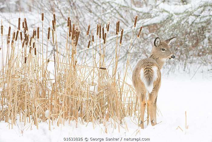 White-tailed deer (Odocoileus virginianus) fawn standing beside Bulrushes (Typha sp) on snow-covered pond. Acadia National Park, Maine, USA. December., Animal,Wildlife,Vertebrate,Mammal,Deer,Key Deer,American,Animalia,Animal,Wildlife,Vertebrate,Mammalia,Mammal,Artiodactyla,Even-toed ungulates,Cervidae,Deer,True deer,ruminantia,Ruminant,Odocoileus,Odocoileus virginianus,Key Deer,White-tailed Deer,Camouflage,North America,USA,Eastern USA,New England,Maine,Rear View,Young Animal,Baby,Baby Mammal,Fawn,Snow,Winter,Reserve,Protected area,National Park,Acadia National Park,American,United States of America,, George  Sanker