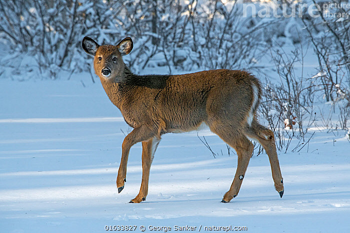 White-tailed deer (Odocoileus virginianus) fawn on snow covered pond. Acadia National Park, Maine, USA. January., Animal,Wildlife,Vertebrate,Mammal,Deer,Key Deer,American,Animalia,Animal,Wildlife,Vertebrate,Mammalia,Mammal,Artiodactyla,Even-toed ungulates,Cervidae,Deer,True deer,ruminantia,Ruminant,Odocoileus,Odocoileus virginianus,Key Deer,White-tailed Deer,Walking,Standing,Frozen,North America,USA,Eastern USA,New England,Maine,Young Animal,Baby,Baby Mammal,Fawn,Snow,Winter,Reserve,Protected area,National Park,Direct Gaze,Acadia National Park,Moving,American,United States of America,Movement,, George  Sanker