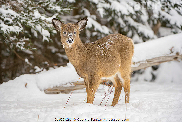 White-tailed deer (Odocoileus virginianus) fawn standing in snow. Acadia National Park, Maine, USA. January., Animal,Wildlife,Vertebrate,Mammal,Deer,Key Deer,American,Animalia,Animal,Wildlife,Vertebrate,Mammalia,Mammal,Artiodactyla,Even-toed ungulates,Cervidae,Deer,True deer,ruminantia,Ruminant,Odocoileus,Odocoileus virginianus,Key Deer,White-tailed Deer,Standing,North America,USA,Eastern USA,New England,Maine,Young Animal,Baby,Baby Mammal,Fawn,Snow,Winter,Reserve,Protected area,National Park,Direct Gaze,Acadia National Park,American,United States of America,, George  Sanker