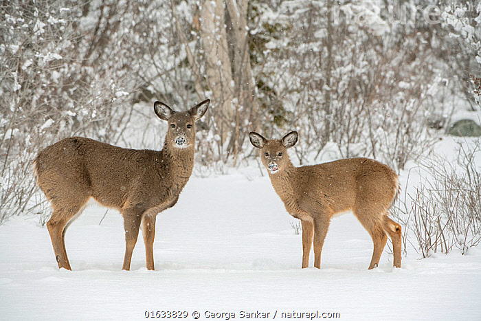 White-tailed deer (Odocoileus virginianus) doe and fawn standing on snow covered pond. Acadia National Park, Maine, USA. January., Animal,Wildlife,Vertebrate,Mammal,Deer,Key Deer,American,Animalia,Animal,Wildlife,Vertebrate,Mammalia,Mammal,Artiodactyla,Even-toed ungulates,Cervidae,Deer,True deer,ruminantia,Ruminant,Odocoileus,Odocoileus virginianus,Key Deer,White-tailed Deer,Standing,North America,USA,Eastern USA,New England,Maine,Young Animal,Baby,Baby Mammal,Fawn,Female animal,Doe,Does,Snow,Winter,Reserve,Family,Mother baby,Mother,Protected area,National Park,Direct Gaze,Acadia National Park,Parent baby,Hind,Hinds,American,United States of America,, George  Sanker