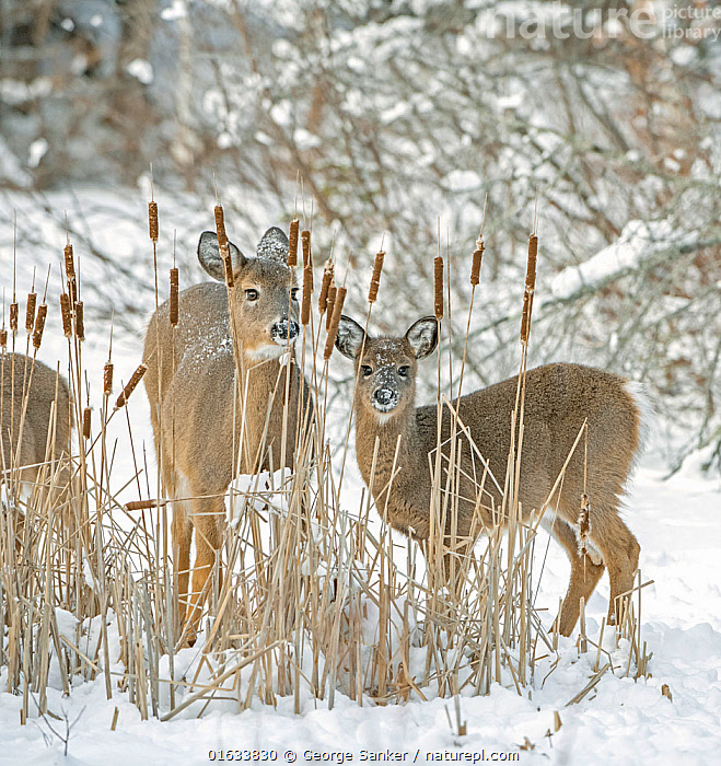 White-tailed deer (Odocoileus virginianus) doe and fawn standing amongst Bulrushes on snow covered pond. Acadia National Park, Maine, USA. January., Animal,Wildlife,Vertebrate,Mammal,Deer,Key Deer,American,Animalia,Animal,Wildlife,Vertebrate,Mammalia,Mammal,Artiodactyla,Even-toed ungulates,Cervidae,Deer,True deer,ruminantia,Ruminant,Odocoileus,Odocoileus virginianus,Key Deer,White-tailed Deer,Standing,North America,USA,Eastern USA,New England,Maine,Young Animal,Baby,Baby Mammal,Fawn,Female animal,Doe,Does,Snow,Winter,Reserve,Family,Mother baby,Mother,Protected area,National Park,Direct Gaze,Acadia National Park,Parent baby,Hind,Hinds,American,United States of America,, George  Sanker