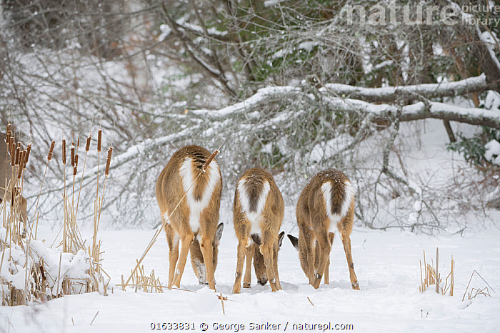 White-tailed deer (Odocoileus virginianus), doe and fawns feeding in a row on snow covered pond, rear view. Acadia National Park, Maine, USA. January., Animal,Wildlife,Vertebrate,Mammal,Deer,Key Deer,American,Animalia,Animal,Wildlife,Vertebrate,Mammalia,Mammal,Artiodactyla,Even-toed ungulates,Cervidae,Deer,True deer,ruminantia,Ruminant,Odocoileus,Odocoileus virginianus,Key Deer,White-tailed Deer,Row,Few,Three,Group,North America,USA,Eastern USA,New England,Maine,Rear View,Young Animal,Baby,Baby Mammal,Fawn,Female animal,Doe,Does,Rear End,Snow,Winter,Feeding,Reserve,Family,Mother baby,Mother,Protected area,National Park,Acadia National Park,Parent baby,Three Animals,Female and offspring,In Line,Hind,Hinds,American,United States of America,, George  Sanker