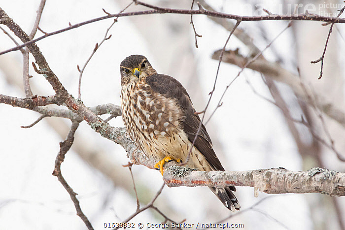 Merlin (Falco columbarius) perched in tree. Acadia National Park; Maine; USA. February.  ,  Animal,Wildlife,Vertebrate,Bird,Birds,Birds of prey,Falcon,Merlin,American,Animalia,Animal,Wildlife,Vertebrate,Aves,Bird,Birds,Falconiformes,Birds of prey,Raptor,Falconidae,Falco,Falcon,Falco columbarius,Merlin,Pigeon hawk,North America,USA,Eastern USA,New England,Maine,Reserve,Protected area,National Park,Direct Gaze,Acadia National Park,American,United States of America,,,eye contact,  ,  George  Sanker