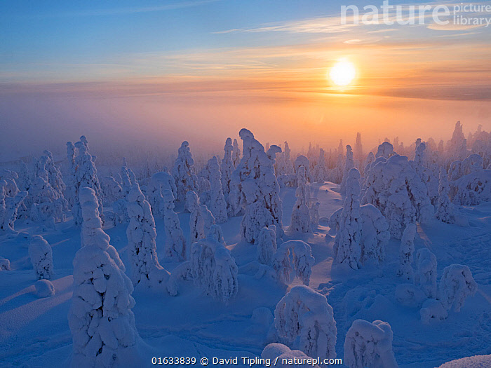 Spruce (Picea sp) trees in forest, cloaked in crown snow, with sun low in sky, Ruka Peak, Kuusamo, Finland. January 2019., Plant,Vascular plant,Conifer,Spruce tree,Plantae,Plant,Tracheophyta,Vascular plant,Pinopsida,Conifer,Gymnosperm,Spermatophyte,Pinophyta,Coniferophyta,Coniferae,Spermatophytina,Gymnospermae,Pinales,Pinaceae,Picea,Spruce tree,Spruce,Mood,Calm,Europe,Northern Europe,North Europe,Nordic Countries,Finland,Snow,Sunset,Setting Sun,Sunsets,Landscape,Winter,Taiga,Boreal forest,Coniferous forest,Forest,The Sun,Dusk,Kuusamo,Northern Ostrobothnia Region,Coniferous,Tree,Trees, David Tipling