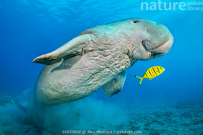 Dugong (Dugong dugon) male and juvenile Golden trevally (Gnathanodon speciosus) swimming over Seagrass (Halophila stipulacea) meadow. Marsa Nabaa, Marsa Alam, Egypt.  ,  Animal,Wildlife,Vertebrate,Ray-finned fish,Percomorphi,Jack,Mammal,Sea cow,Dugong,Golden trevally,Catalogue13,Animalia,Animal,Wildlife,Vertebrate,Actinopterygii,Ray-finned fish,Osteichthyes,Bony fish,Fish,Perciformes,Percomorphi,Acanthopteri,Carangidae,Jack,Jack fishes,Mammalia,Mammal,Sirenia,Sea cow,Dugonidae,Dugong,Dugong dugon,Sea Cow,Dugong dugong,Dugong dugung,Dugong indicus,Symbiotic Relationship,Swimming,Contrasts,Friendship,Size,Wrinkled,Wrinkle,Wrinkles,Africa,North Africa,Northern Africa,Egypt,Low Angle View,Young Animal,Male Animal,Plant,Grass Family,Seagrass,Tropical,Red Sea,Marine,Underwater,Water,Animal Behaviour,Mixed species,Saltwater,Sea,Gnathanodon,Gnathanodon speciosus,Golden trevally,Marsa Alam,Catalogue13,Animals,Vertebrates,Chordates,Ray-finned fishes,Bony fishes,Fishes,Jacks,Mammals,Sea cows,Dugongs,Juveniles,Young Animals,Males,Male Animals,Seas,Friends,Animal,Wildlife,Vertebrate,Ray-finned fish,Percomorphi,Jack,Mammal,Sea cow,Dugong,Golden trevally  ,  Alex Mustard