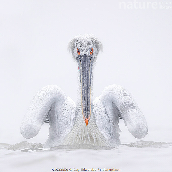 Dalmatian pelican (Pelecanus crispus), portrait. Lake Kerkini, Sintik, Greece. January., Animal,Wildlife,Vertebrate,Bird,Birds,Pelican,Dalmatian pelican,Animalia,Animal,Wildlife,Vertebrate,Aves,Bird,Birds,Pelecaniformes,Pelecanidae,Pelican,Pelecanus,Pelecanus crispus,Dalmatian pelican,Colour,White,Europe,Southern Europe,Greece,Portrait,Beak,Water Surface,Water,Direct Gaze,Lake Kerkini,Sintik,, Guy Edwardes