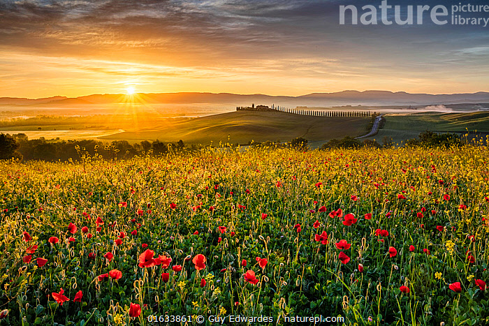 Field of flowering Poppies (Papaver rhoeas) at sunrise,   Val d'Orcia, Tuscany, Italy. May 2019.  ,  Agricultural Land,Angiosperm,Angiospermae,Brassica,Brassicaceae,Brassicales,Cabbage,Cabbage family,Colour,Common poppy,Corn poppy,Countryside,Crop,Crops,Crucifer,Cruciferae,Cruciferous vegetable,Cultivated Land,Dawn,Dicot,Dicotyledon,Europe,Farmland,Field,Field poppy,Flower,Flowering plant,Fumariaceae,Hill,Italy,Landscape,Magnoliopsida,Morning,Mornings,Mustard,Mustard flower,Papaver,Papaver rhoeas,Papaveraceae,Plant,plant plant,Plantae,Poppy,Ranunculales,Ranunculanae,Red,Red poppy,Rosanae,Rosid,Southern Europe,Spermatophyte,Spermatophytina,Stylomecon,Summer,Sunrise,Tracheophyta,Tuscanny,Tuscany,Vascular plant,Wildflower,Wildflowers,Yellow  ,  Guy Edwardes