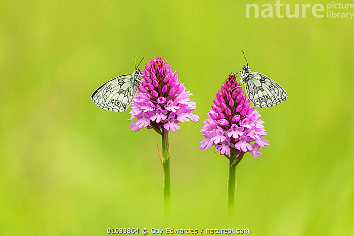 Marbled white (Melanagria galathea), two butterflies on Pyramidal orchid (Anacamptis pyramidalis). Badbury Rings, Wimborne Minster, Dorset, England, UK. June.  ,  Plant,Vascular plant,Flowering plant,Monocot,Orchid,Pyramidal orchid,Animal,Wildlife,Arthropod,Insect,Brushfooted butterfly,Marbled white,Catalogue13,Plantae,Plant,Tracheophyta,Vascular plant,Magnoliopsida,Flowering plant,Angiosperm,Spermatophyte,Spermatophytina,Angiospermae,Asparagales,Monocot,Monocotyledon,Lilianae,Orchidaceae,Orchid,Anacamptis,Anacamptis pyramidalis,Pyramidal orchid,Aceras pyramidale,Anacamptis brachystachys,Anacamptis durandii,Animalia,Animal,Wildlife,Hexapoda,Arthropod,Invertebrate,Hexapod,Arthropoda,Insecta,Insect,Lepidoptera,Lepidopterans,Nymphalidae,Brushfooted butterfly,Fourfooted butterfly,Nymphalid,Butterfly,Papilionoidea,Melanargia,Marbled white,Satyrine,Satyrid,Brown,Satyrinae,Melanargia galathea,Papilio galathea,Colour ,Pink,Two,Europe,Western Europe,UK,Great Britain,England,Dorset,Flower,Summer,Two animals,Catalogue13,Plants,Angiosperms,Spermatophytes,Monocots,Monocotyledons,Orchids,Animals,Arthropods,Invertebrates,Hexapods,Insects,Neopterans,Neoptera,Pterygota,Brush footed butterflies,Four footed butterflies,Nymphalids,Butterflies,Marbled whites,Satyrines,Satyrids,Browns,Flowers,Colours,Colors,Plant,Vascular plant,Flowering plant,Monocot,Orchid,Pyramidal orchid,Animal,Wildlife,Arthropod,Insect,Brushfooted butterfly,Marbled white  ,  Guy Edwardes